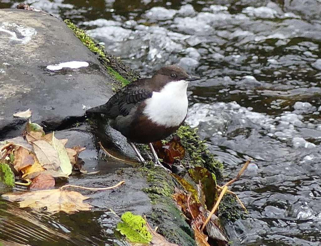 Dipper Endrick Water – photo by Hugh Tooby