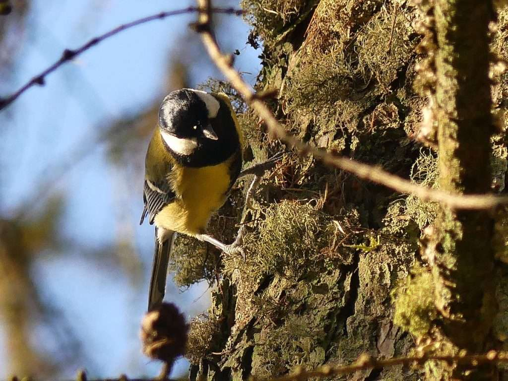 Great Tit Loch Lomond