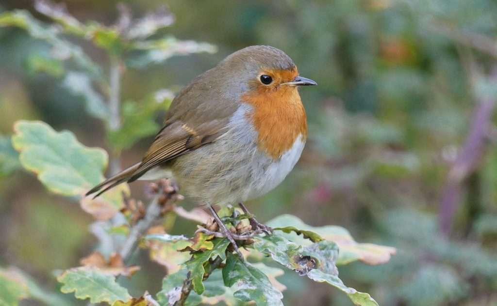 Robin, Loch Lomond