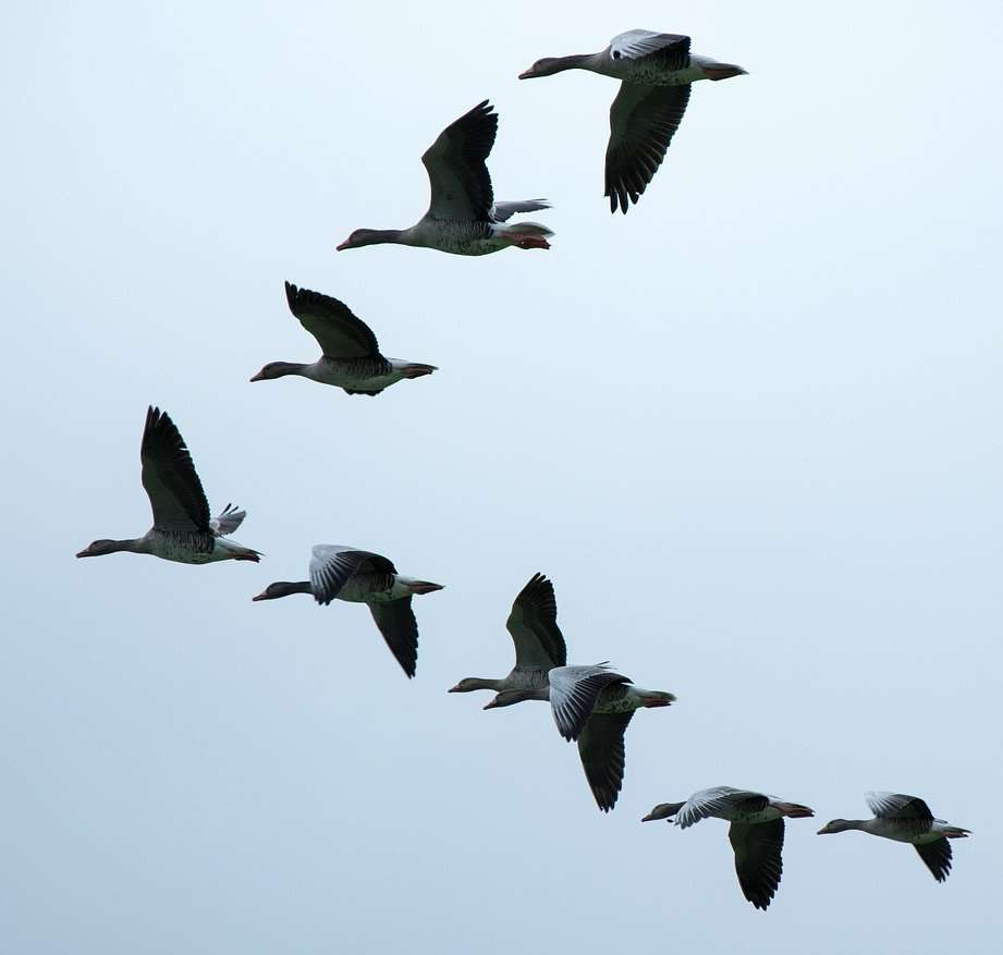 Geese – photo by Manfred Antranias Zimmer