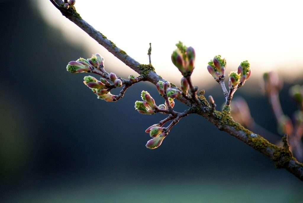 Birch buds – photo by Henryk Borsuk
