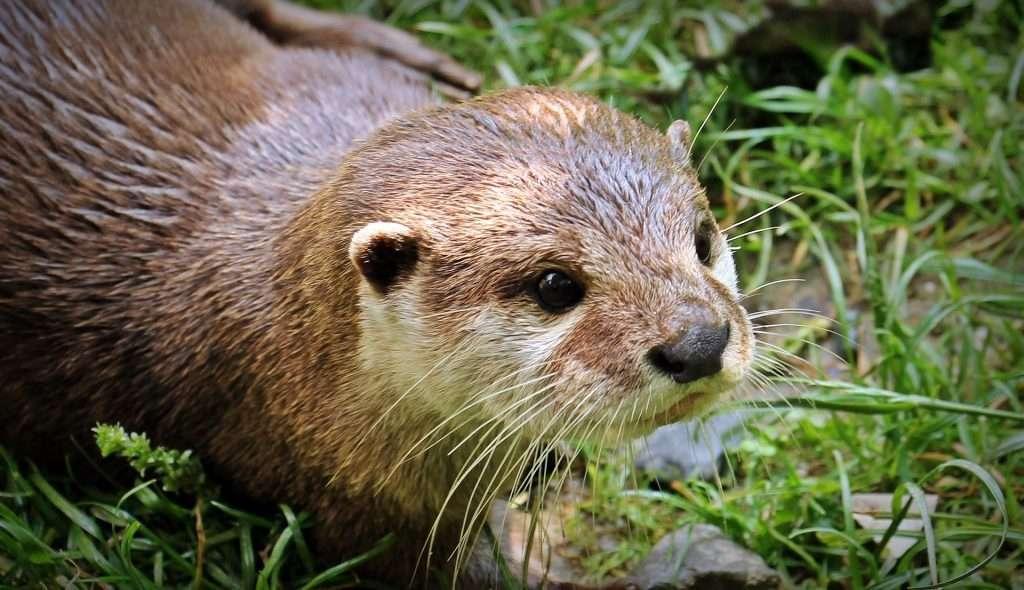 Otter – photo by Pixel2013 on Pixabay