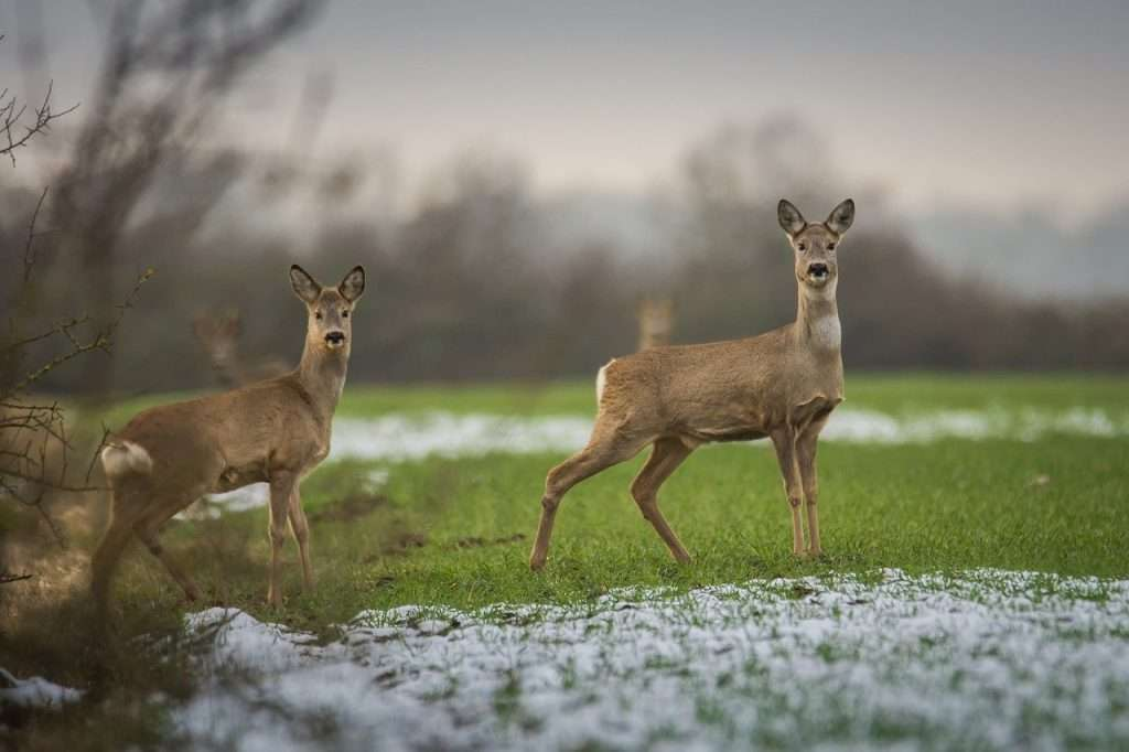 Roe deer – photo by Sven Lachmann
