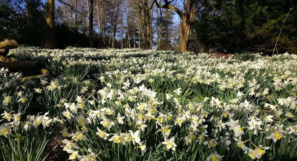 Carpet of daffodils – photo by Sam Lyth