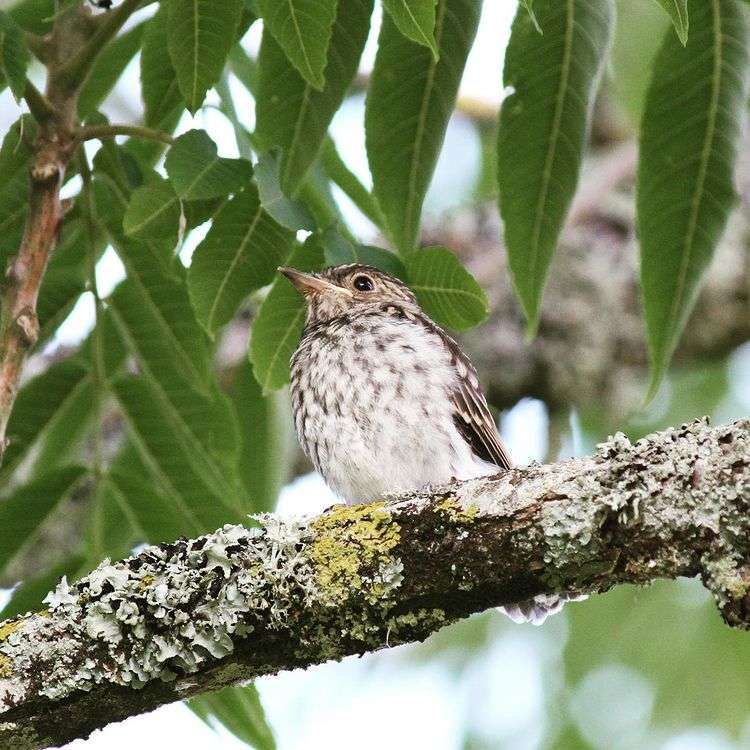 Spotted flycatcher fledgling– photo by Zoe Shuttleworth