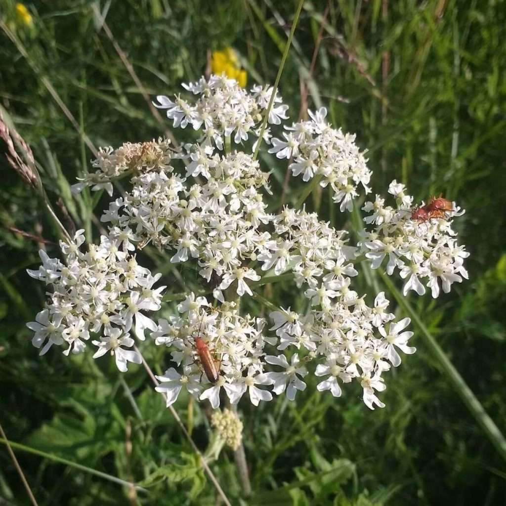 Red soldier beetles doing what they do on cow parsley– photo by Sam Lyth
