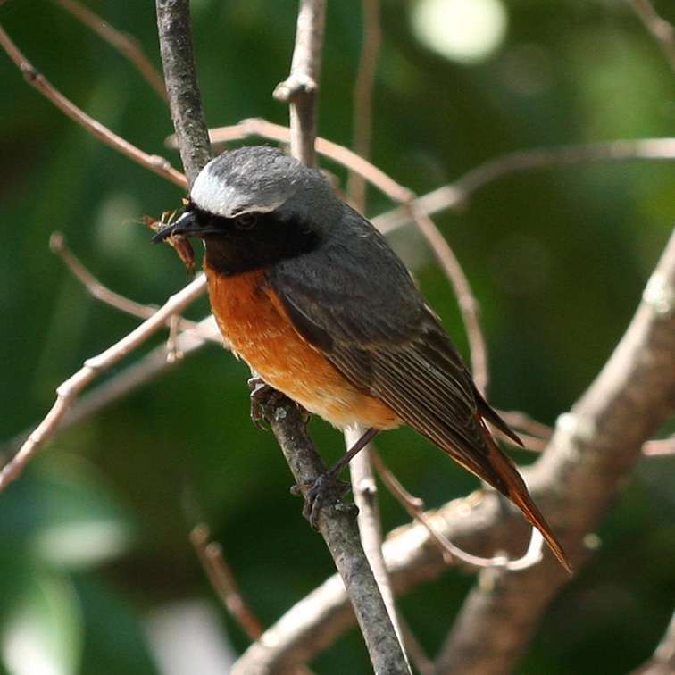 Common Redstart by Yerpo - Own work, CC BY-SA 3.0, https://commons.wikimedia.org/w/index.php?curid=33263400