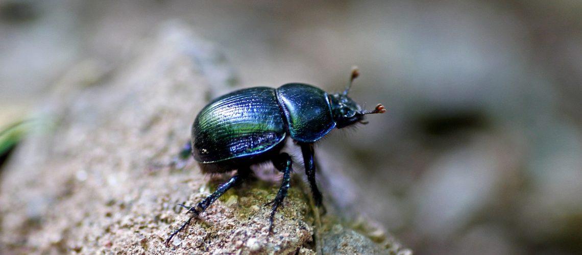 Dung beetle – https://pixabay.com/users/jasmin777-3137964/